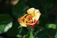 バラが咲き出した小さなローズガーデン - 季節の風を追いかけて