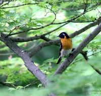 春の渡りのムギマキ♂成鳥に出会った・・・ - 一期一会の野鳥たち