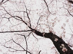 野趣あふれる桜 - Photo of the Weekend