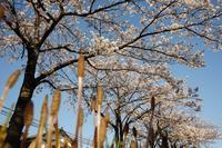 土筆と桜 - 日々是好日 Here comes the sun.