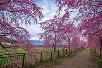 2017GW  桜!もう一度 - 山麓風景と編み物