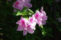 No 87  田舎の庭は花盛り(2017年5月4日) - カメラをもってぶらぶら散歩中