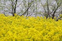 水辺の菜の花 - 心の色~光生写真館~