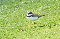 海辺の争い - barbersanの野鳥観察