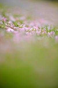 花散る - たなぼた
