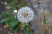 たんぽぽ綿毛は風に乗って - 空色のココロ~小さな幸せを探して~