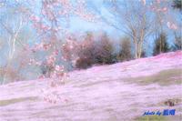 サクラが咲いた - 藍の郷