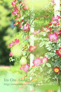 バラの季節 - 色音あそび