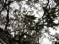 庭の老桜 - 和紙日記