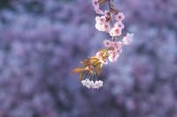 GW 桜まつり'17 #5 - 但馬・写真日和