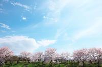 圧倒的桜。2017 - 但馬・写真日和