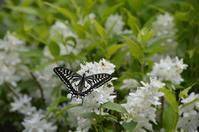 アゲハ 5月6日 庭にて - 超蝶
