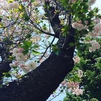 二子玉川散歩 with 沖縄のお姉さん - しっかり立って、希望の木