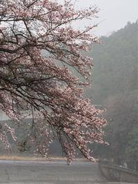 瀧樹神社の桜 - 鹿深の森