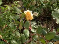 レディーヒリンドンが咲きました - 百寿者と一緒の暮らし