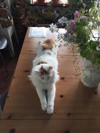 ノルウェージャンのオルウェンくんの不思議なポーズ! - ルドゥーテのバラの庭のブログ