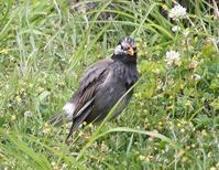 今日の鳥さん 170506 - 万願寺通信