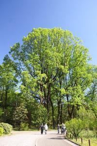 大きな樹に咲く可愛い花☆ユリノキ - さんじゃらっと☆blog2