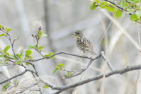 幌別川で鳥と鹿と - Bird-Watching Journal