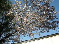 サッポロも桜の季節になりましたが、、 - ハンドメイド  Atelier   maki