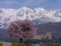 残雪の白馬と桜 - デジタルで見ていた風景