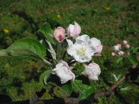 りんごの白い花も咲いて - 信州ピース&ナチュラルだより
