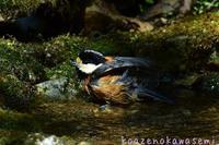 ヤマガラの水浴び - 気ままな生き物撮り