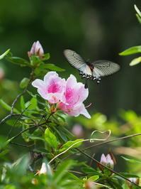 ジャコウアゲハ - 自然を楽しむ
