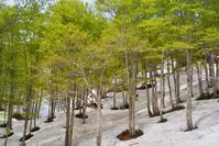 残雪のブナの森 - 松之山の四季2