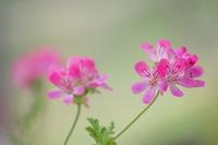 マゼンダ色の花たち - tokoのblog