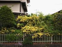 モッコウバラの垣根 - エンジェルの画日記・音楽の散歩道