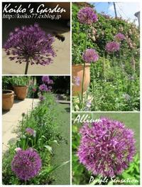 アリウム パープル センセーション.〜Allium 'Purple Sensation - 恋子のガーデニング日記