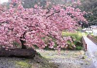 八重桜 - 今が一番