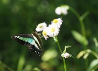 アオスジアゲハ - 風の翅
