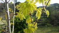 ブナとカエデの芽吹き - 今から・花