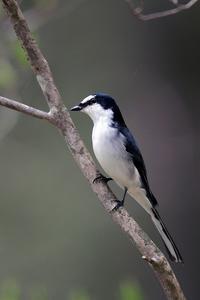 サンショウクイ - 比企丘陵の自然
