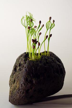 石鉢に松。 - 盆栽日記-the experimental bonsai diary-