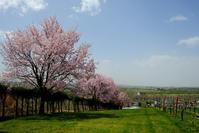 池田の桜 - オムイと森羅万象