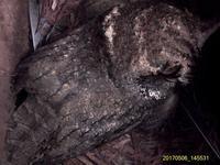 オオコノハズクの続報 - おらんくの自然満喫