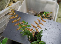 シダの新葉が展開する。続き。 - 出町隠居のつれづれ草