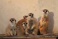 市川市動植物園~ミーアキャットとヤマアラシ - 続々・動物園ありマス。