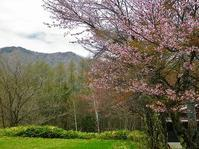 乗鞍高原の桜の花が咲き出してきました~!! - 乗鞍高原カフェ&バー スプリングバンクの日記②