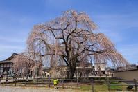 しだれ桜 - 山歩き川歩き
