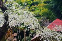 雪村の桜 Ⅱ - 風の香に誘われて 風景のふぉと缶