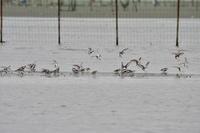 三番瀬の鳥たち - Taro's Photo