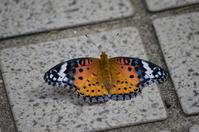 ツマグロヒョウモン 5月7日 庭にて - 超蝶