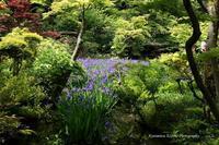 杜若と新緑の妙--自由散歩@撮影 - くにちゃん3@撮影散歩