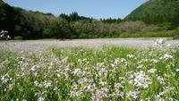 ハマダイコン咲き誇る五蔵大池 - イチブン山水記 TTI48