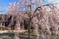 京都の桜2017 立本寺のしだれ桜とソメイヨシノ - 花景色-K.W.C. PhotoBlog