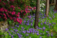 上御霊神社に咲くイチハツ - 花景色-K.W.C. PhotoBlog